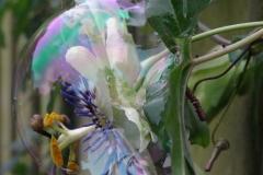 Passiebloem gevangen in zeepbel